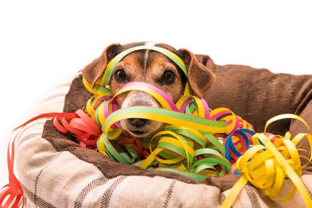 Party Dog - Jack Russell Terrier Banco de Imagens