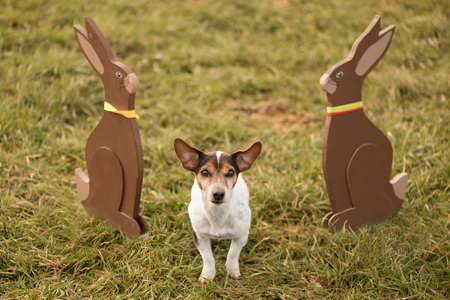 Dog and easter bunny - Jack Russell Terrier