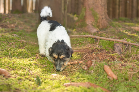 pursuing: Small dog is pursuing a trail in the forest - jack russell terrier