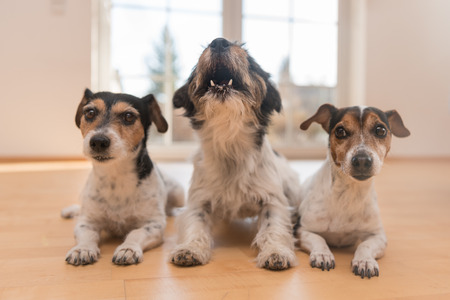 wood floor: Three jack russell in the apartment Stock Photo