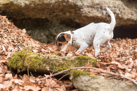 dog follows a track - 10 years old jack russell Terrier Archivio Fotografico