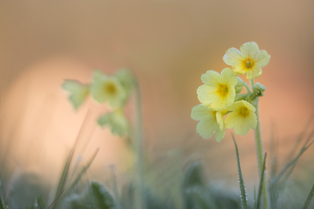 Primula veris flower in springtime at sunrise