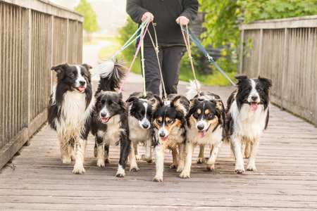 Walk with many Border Collies on a leash