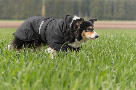 clothe: Dog with coat - old Border Collie
