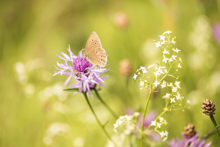 hyperantus: Butterfly on cornflower - Aphantopus hyperantus
