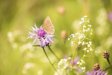 Butterfly on cornflower - Aphantopus hyperantus