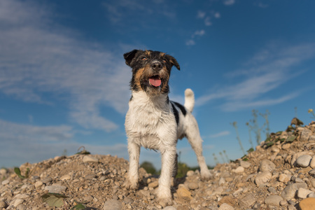 steins: Dog standing on stones against blue sky - jack russell terrier 5 years old Stock Photo