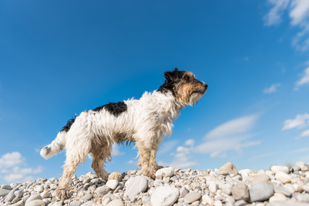 steins: Dog standing on stones against blue sky - jack russell terrier 2.5 years old Stock Photo