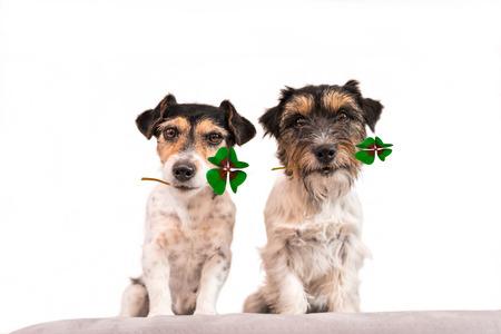 Gelukkige honden - Jack Russell terrier met klaverblad Stockfoto - 83683502