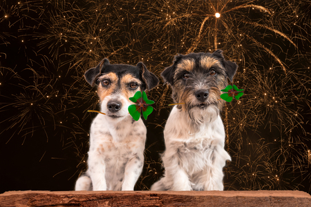 animal st  patricks day: New Years Eve dog - fortune boats - Jack Russell Terrier
