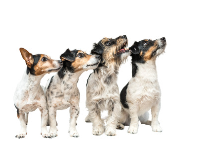 Four dogs in front of white background - Jack Russell Terrier