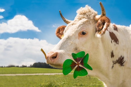 Happy cow with four leaf clover.