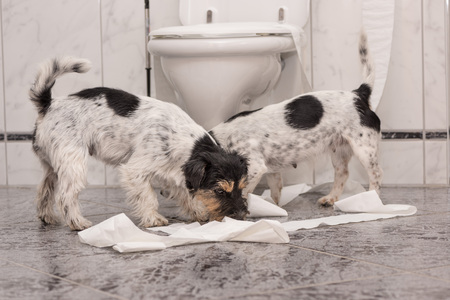 Dog making mess - jack russell terrier