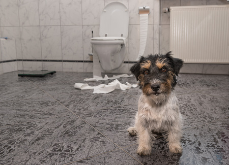chewed: Dog making mess - jack russell terrier