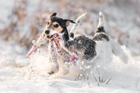 ジャック ラッセル テリア - 犬のおもちゃで雪の中で遊ぶ