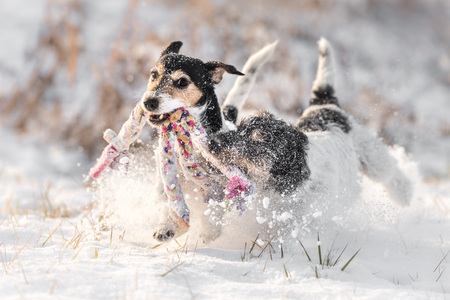 Jack Russell Terrier - dog playing in the snow with toys