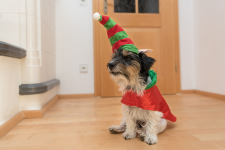 cute dog dressed as a leprechaun - jack russell terrier