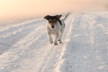 Jack Russell Terrier - Dog running down a snowy road at sunrise Stock Photo