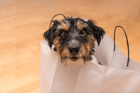 Jack Russell - Crazy little dog in paper bag
