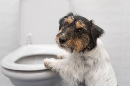 トイレ - ジャック ラッセル テリアの犬 写真素材
