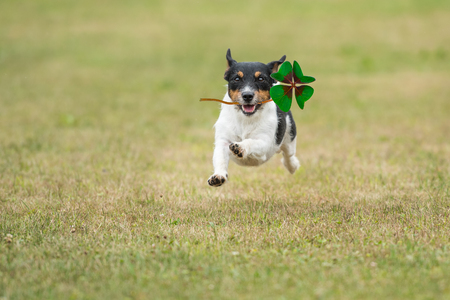 Dog is running across a green meadow with a four-leaf clover in his mouth - Jack Russell Terrier