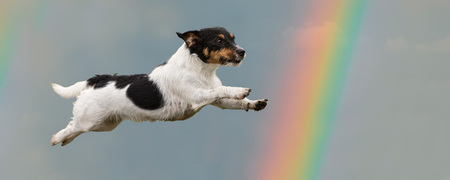 Dog flies in the sky to the rainbow - Jack Russell Terrier