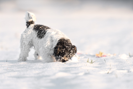 Jack Russell Terrier - Small cute dog hunting tracks in white deep snow