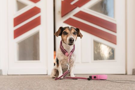 dog waiting in front of door, ready for a walk - Jack Russell Terrier Stock Photo