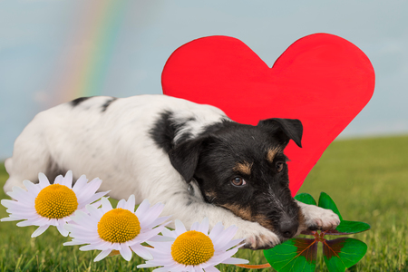 Romantic dog - little doggy ready for Valentines Day Stock Photo