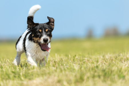 -Tricolor cute Jack Russell Terrier doggy