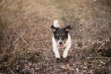 Tricolor Jack Russell Terrier - little cute dog is racing in the forest - season late autumn