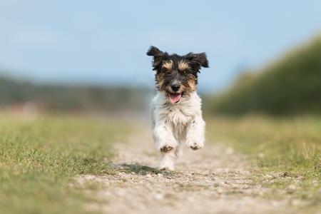 犬は青空の前の草原の隣の草原で走り、飛ぶ - トリコロールジャックラッセルテリア犬 写真素材