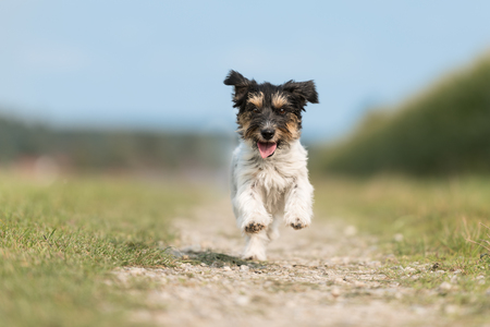 Dog runs and flies on a meadow next to the meadow in front of blue sky -Tricolor Jack Russell Terrier doggy