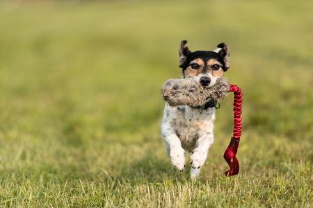 Dog runs and fly on the meadow -Tricolor cute Jack Russell Terrier doggy Stock Photo