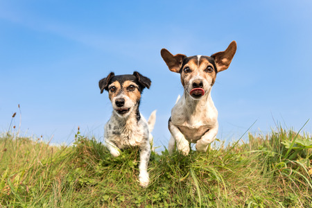dog hopping over a green hill in a meadow - two cute tricolor Jack Russell Terrier Stock Photo