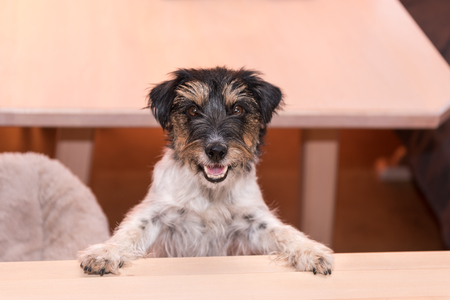 Cute little naughty tricolor Jack Russell Terrier is standing on his hind legs - hair style rough