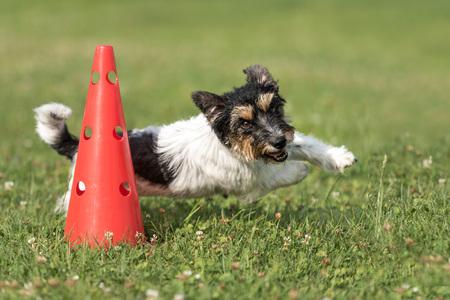 Kleine hondencirculatie op een kegel - Schattige Jack Russell Terrier zijn hondje gehoorzaam tijdens het sporten Stockfoto - 92790958