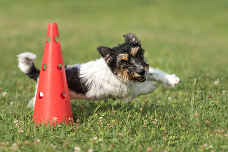 Small dog circulatory on a cone - Cute Jack Russell Terrier doggy obedient while doing sports Stock fotó - 92790958