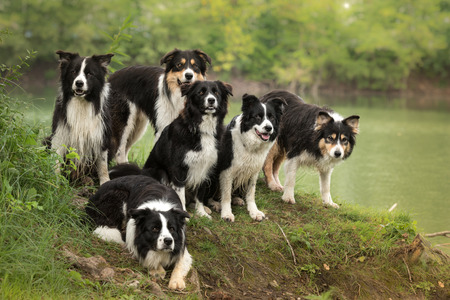 A pack of obedient dogs - Border collie in all ages from the young dog to the senior