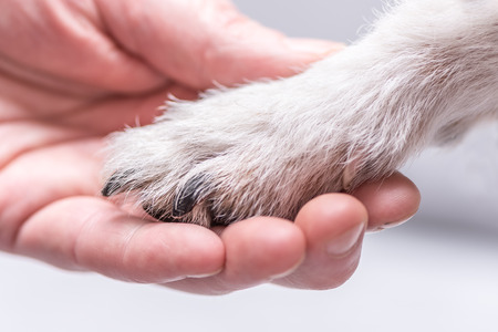 Close up view of dog paws and human hand. Fiendship between Jack Russell terrier foot and human