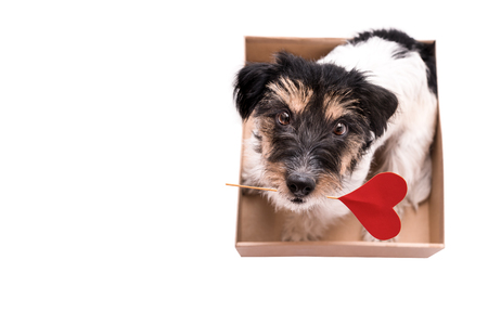 Romantic Dog - Small Cute Jack Russell Terrier dog with a heart as a gift for Valentine in the mouth
