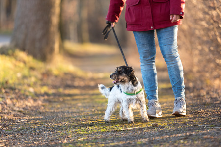 Walk with a cute little dog - Jack Russell Terrier Doggy - Dog handler walks in the forest on a path Stock Photo
