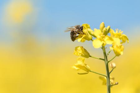 Mel abelha coletando pólen na flor de estupro amarelo contra o céu azul Foto de archivo - 93488729