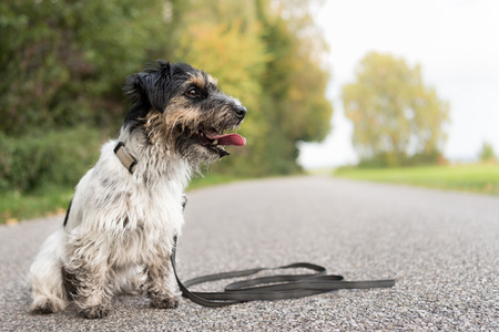 Jack Russell Terrier - Dirty dog â € â € ¢ â € ¢ â € ¢ â € ¢ Sits on the road, rural environment - hair style rough Stockfoto