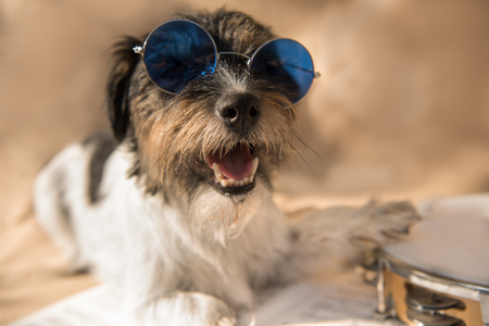 Musicians dog sings and plays tambourine - Jack Russell Terrier doggy