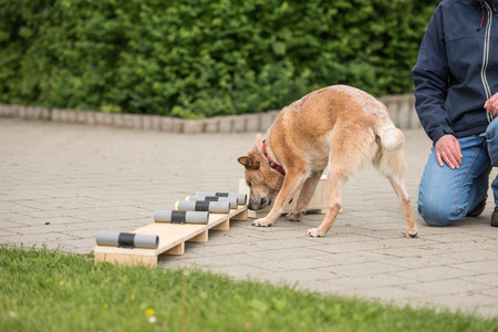 dog with nose on object - Australian Cattle dog 스톡 콘텐츠
