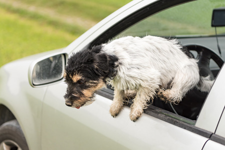 Small dog is jumping out of the car window - jack russell terrier 2 years old