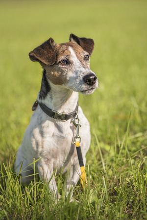dogs portrait - cute jack russell terrier hound