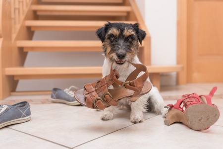 little cute obedient dog holds a shoe by clicker training - Jack Russell Terrier 2 years old 스톡 콘텐츠