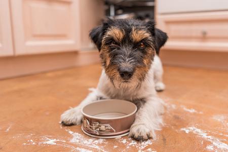 small cute dog cooking - jack russell terrier hound Standard-Bild